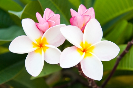 Plumeria in Thailand photo