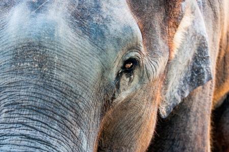 Asian elephants Stock Photo