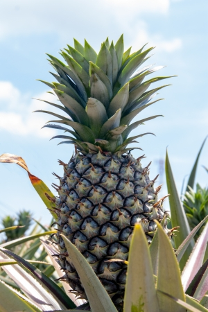 Pineapple farm growing photo