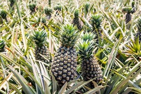 Pineapple farm growing