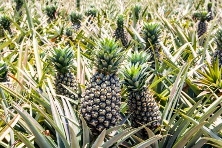 Pineapple farm growing