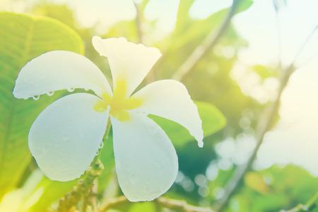 Frangipani flowers soft focus with pastel tones. Stock Photo