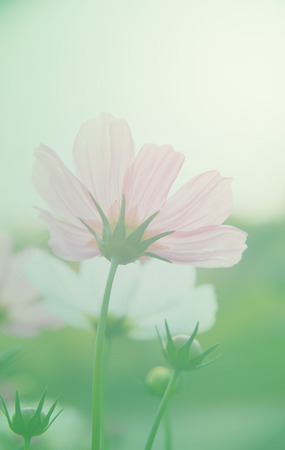 Cosmos Flowers and soft focus with pastel tones. photo