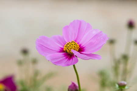 Cosmos flowers with vintage. Stock Photo
