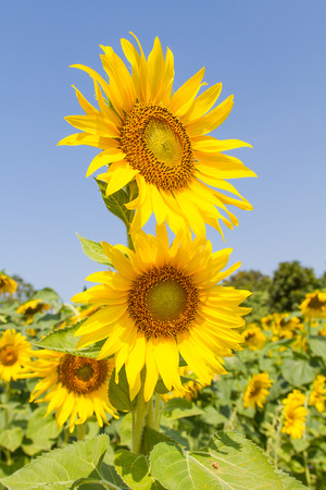 Sunflower field with the sun in the morning.