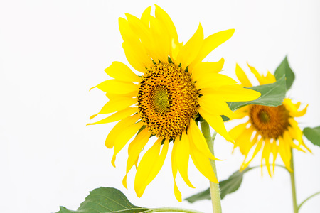 Sunflower on a white wall background.