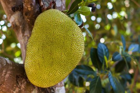 jack fruit: jack fruit juice Thailand