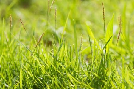 thick: fresh thick grass in the early morning