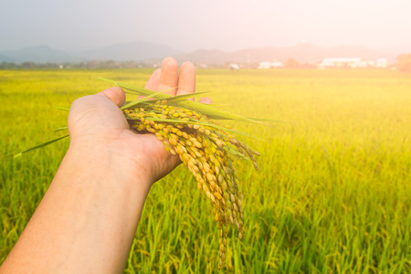 Rice fields is an important food and health benefits. Stock Photo