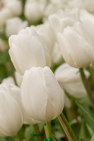 Colorful tulips, beautiful flowers blooming beautifully, like a cold and was very popular.