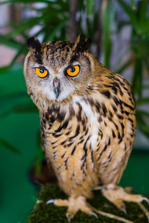 predators: Owls are predators talented and beautiful.