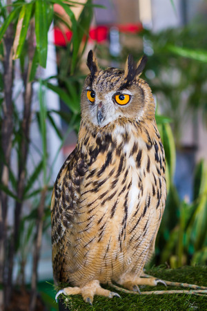talented: Owls are predators talented and beautiful.