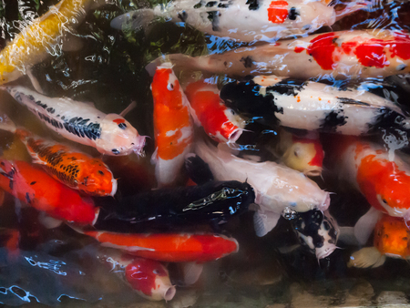 Colorful koi are kept in the pool.