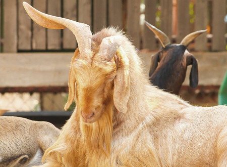 hircus: Old brown domestic goat (Capra aegagrus hircus) sleeping on the table
