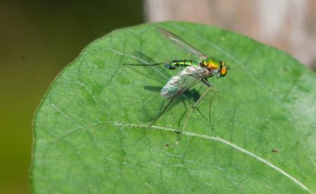 legged: Long Legged Fly (Dolichopodidae) on green leaf Stock Photo