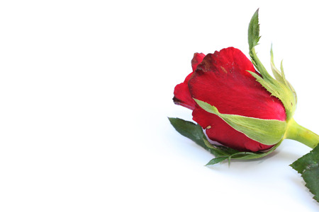 free space: Single Valentine rose Background  with free space for text Stock Photo