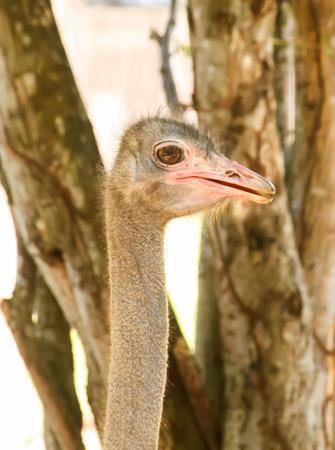 ostrich: Cabeza de avestruz Primer sola