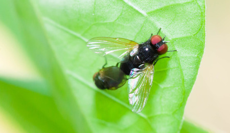 housefly: Close up Housefly breeding on green leaf Stock Photo