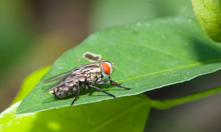 housefly: Close up Little single Housefly on green leaf Stock Photo