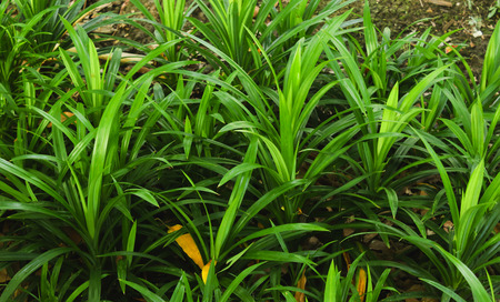 Group of green pandan leaves or Pandanus amaryllifolius