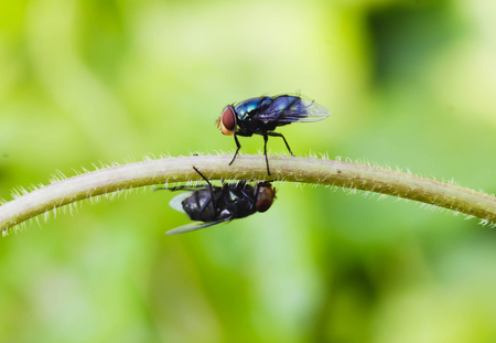 Two Black  Housefly on the green leaf
