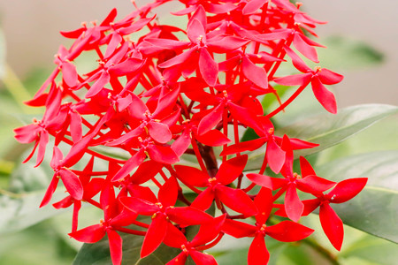 Close up of fresh group Red Ixora flower in the garden
