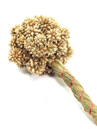 Close up of brown Dry Spiky Ball Flower isolated on white background