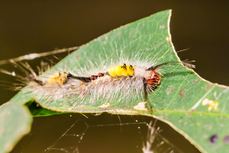 Close up of yellow and red Caterpillar a long hairy worm on green leaf Stock Photo