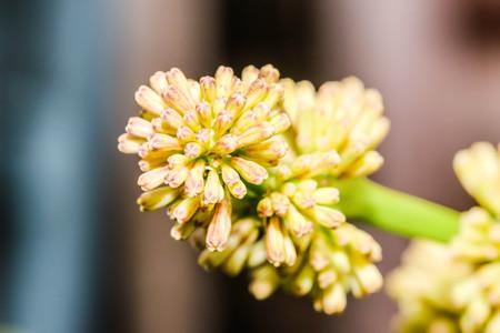 Macro field Cape of Good Hope, Dracaena, Dracaena fragrans Stock Photo