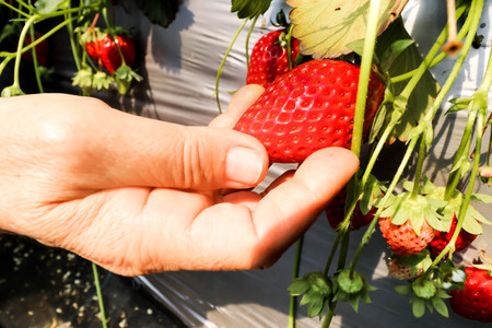 Close up of Freshness red strawberry on hand in Strawberry Farm ,Chiba, japan
