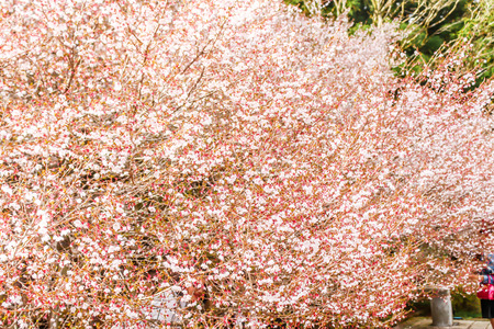 Landscape of beautiful white and pink cherry blossom Sakura flower in Japan background Stock Photo