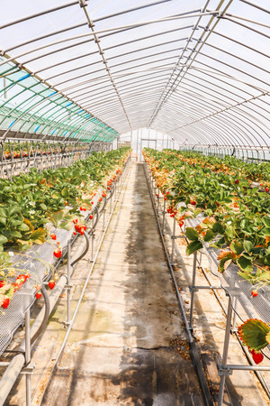 View of strawberries that are grown in greenhouses in strawberry farm , Japan