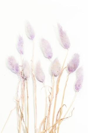 Closeup of purple Dry Bunny Tails Grass Lagurus Ovatus on white background