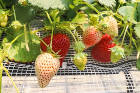 Selective Focus of single Strawberry fruits on the branch in Strawberry farm , japan