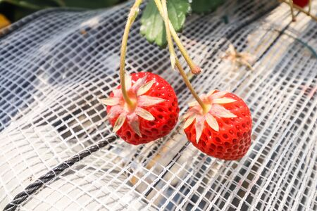 Top  of Fresh strawberries that are grown in greenhouses in strawberry farm , Japan