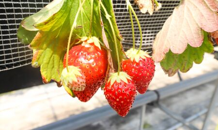 Three of Big Strawberry fruits on the branch in Strawberry farm , japan.JPG Banco de Imagens