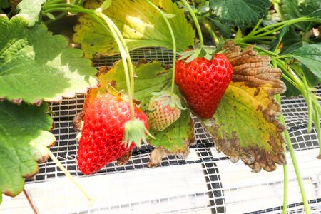Three Strawberry fruits on the branch in Strawberry farm , japan