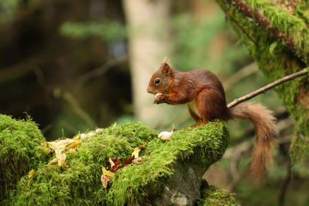 Red Squirrel in North Yorkshire