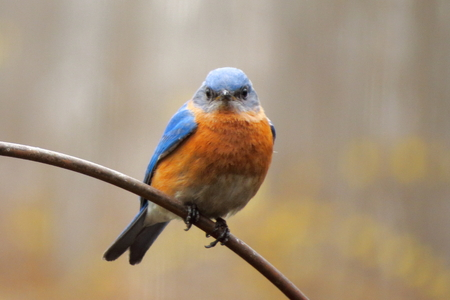 Bluebird on the branch Imagens