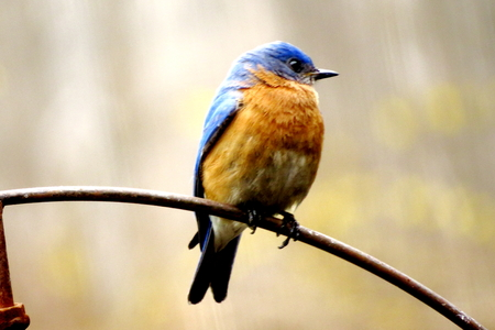 Bluebird closeup photo