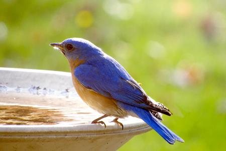 Male bluebird Stock Photo