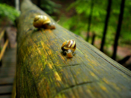 Snails on wet wood frame in the forest