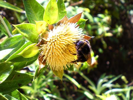 Bumblebee on yellow flower Banco de Imagens