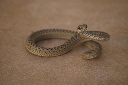 Montpellier serpiente Foto de archivo - 47174039