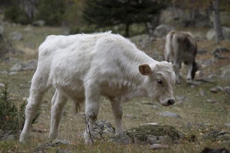 pla: Cow in Pla de Boavi Stock Photo