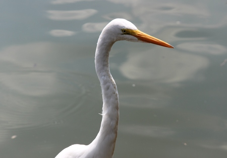 great: Great Neck egret