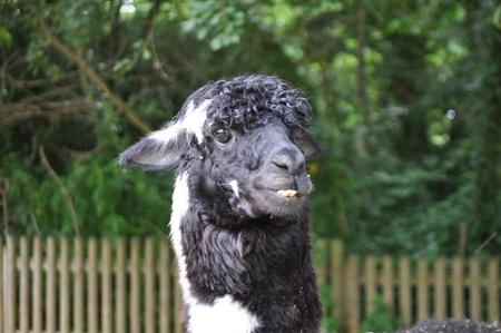 bicolor: bicolor Lama