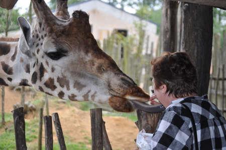 incentives: greedy giraffe and woman Stock Photo
