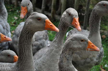cree: gray goose with an orange beak