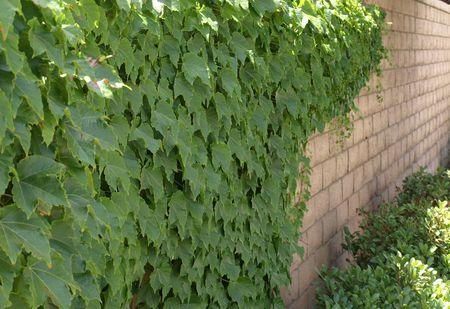 wall ivy: Ivy Muro